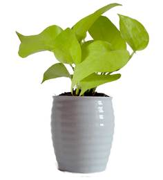 Rolling Nature Good Luck Golden Money Plant In White Ceramic Pot