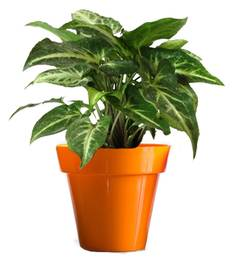 Rolling Nature Good Luck Green Syngonium In Small Orange Colorista Pot
