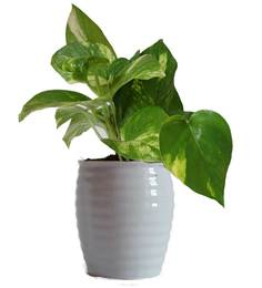 Rolling Nature Good Luck Money Plant In White Ceramic Pot