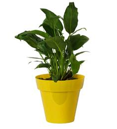Rolling Nature Good Luck Peace Lily In Yellow Colorista Pot