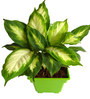 Rolling Nature Dieffenbachia Camilla in Green Square Pot