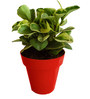 Rolling Nature Variegated Peperomia in Red Colorista Pot